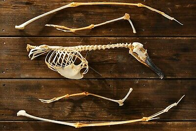 Albatross Skeleton, Complete, Partially Articulated • 50£