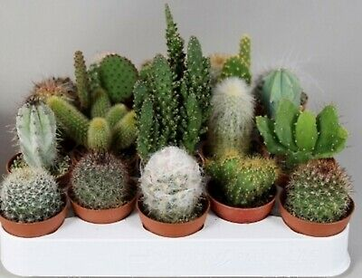 6 Cactus  Mixed Plants Collection Terrarium Bottle Garden  In 5.5cm Pots • 9.99£