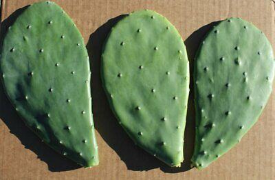 Opuntia Ficus-indica - Prickly Pear One Rooted Pad • 4.10£