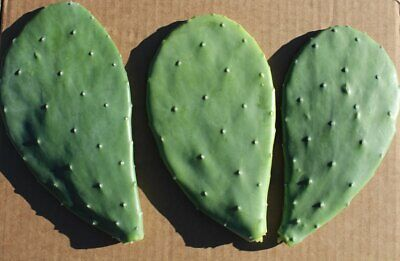 Opuntia Ficus-indica - Prickly Pear One Pad XL - For Rooting Or Tortoise Food • 3.70£