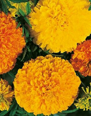 African Marigold Seeds X 160 & French Marigold X50 Seeds FREE Fast Despatch. • 2.45£