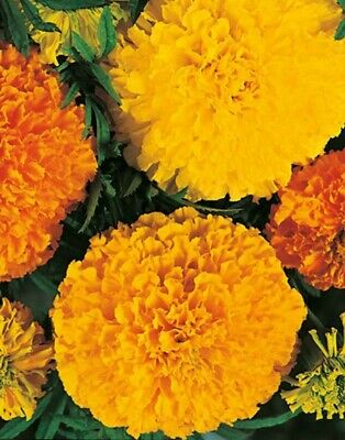 Marigold Seeds X100Lrg Double Heirloom African +FREE 100 French Marigold Seeds • 2.45£