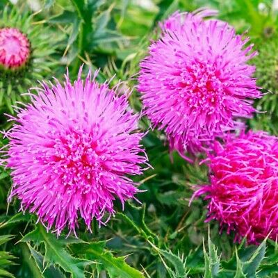 $2.99 • Buy Milk Thistle Seeds Medicinal Herb Plant Holy Thistle Marian Thistle St Mary's