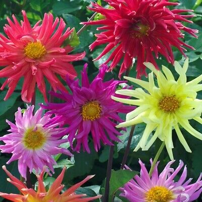 Dahlia Seeds Cactus Mix Beautiful Annual Cut Flowers Hummingbird Butterfly Plant • 2.14£