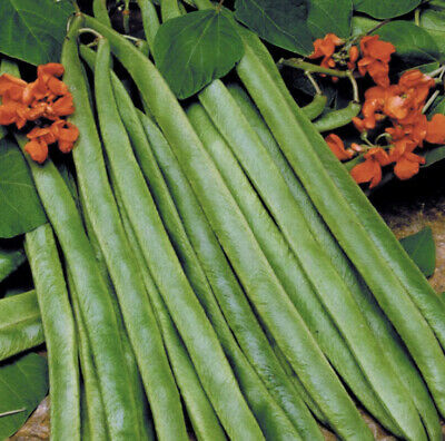 Stringless Lady Di Runner Beans 10 Seeds Vegetable Patch Home Grow Allotment UK • 2.59£