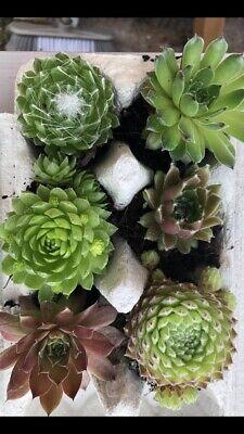 £6.50 • Buy SEMPERVIVUM Plants. Changing Seasonal  COLOUR (evergreen ,hardy,easy Care)