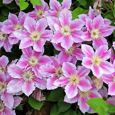 Clematis Piilu | Deciduous Dense Hardy Large Flowering Garden Shrub In Pot • 9.99£