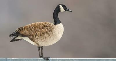 £10 • Buy Taxidermy/ Blown Egg Of  The Canada Goose/Branta-Canadensis./Domestic Bred.