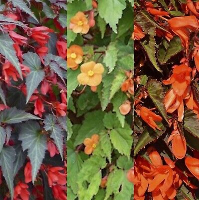 £14.95 • Buy Begonia Trailing Collection. 3 X Trailing Begonia Plants In 9cm Pots