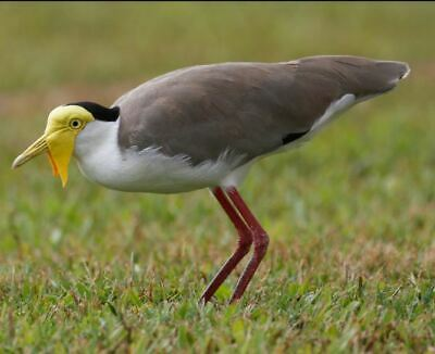 £40 • Buy Taxidermy/ Blown Egg Of The Australian Masked Lapwing../IUCN Least Concern