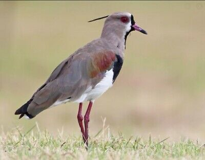 £30 • Buy Taxidermy/ Blown Egg Of The Southern Lapwing.../IUCN Least Concern