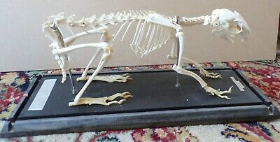 £45 • Buy Rabbit/Hare Skeleton Mounted In A Case. From Bulgaria. Missing A Few Bones.