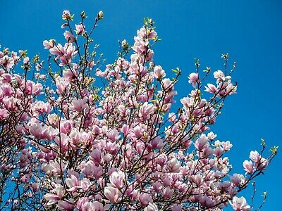 $6 • Buy 10 Fresh Pink Magnolia Cuttings Unrooted