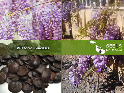 £1.75 • Buy Wisteria Sinensis, Chinese Wisteria, 5/10/50 Seeds