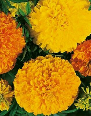 £1.89 • Buy African Marigold Seeds X 200 Seeds FREE Fast Despatch.Lucky Dip