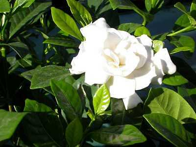 $2 • Buy Cape Jasmine, Gardenia Jasminoides, Shrub Seeds (Fragrant Evergreen)