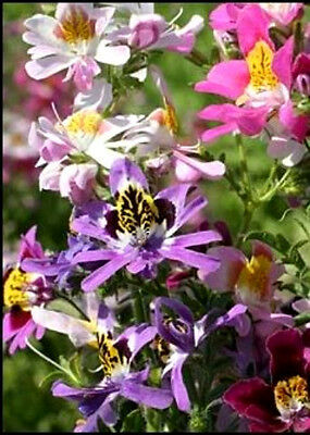 AU3.85 • Buy 200 MIXED BUTTERFLY ORCHID ANGEL WINGS Schianthus Seeds
