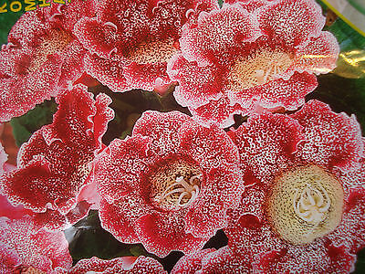 £2.79 • Buy Russian Gloxinia Seeds Speckle Red Flowers F1 Hybrids