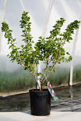 2x Gooseberry Hinnonmaki Red Plants 1-3 Stem In 9 Cm Pot -1st Class Royal Mail • 12.95£
