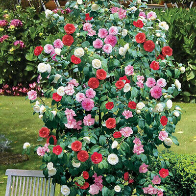 £16.99 • Buy Camellia Tricolour 3 Plants 3 Colours Mixed Display Garden Flower Plant In Pot