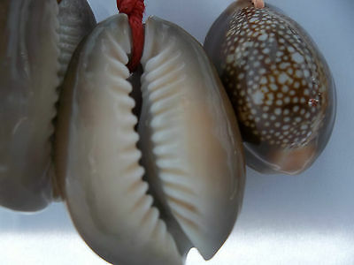 £3.99 • Buy KARMA String Red With Large Hawaiian Snakeshead Cowrie Shell Necklace UK SELLER