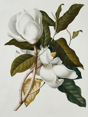 $34.99 • Buy Magnolia  By Georg Ehret  Giclee Canvas Print Repro