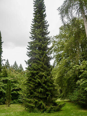 Picea Omorika, Serbian Spruce, Christmas Tree, Conifer Grown Peat Free 3ft+ • 35.99£