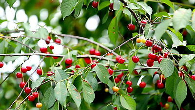 Wild Cherry Tree🍒Prunus Avium🍒5-Seeds🍒Ornamental-Native🍒broad-leaf Woodland • 1.55£