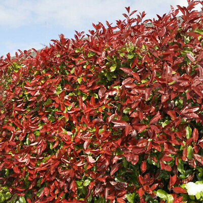 £39.99 • Buy Red Robin Hedging Plants 20-40cm Photinia Christmas Berry Evergreen Hedge Potted