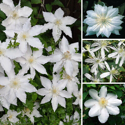 1 X Clematis White Coloured Large Flowering Climber Hardy Plant In Pot • 11.99£