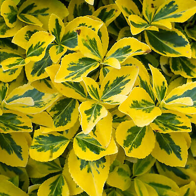 £8.99 • Buy Euonymus Fortunei 'Emerald 'n Gold' Spindle Evergreen Shrub Hedge   9cm Pot
