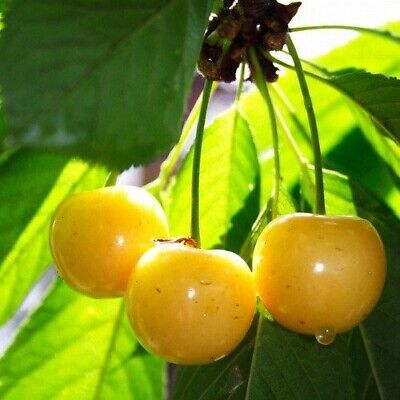 🍒 Juicy Yellow Cherry Tree 🍒  5-Finest  Seeds🍒Delicious Fruit🍒UK Seller 🍒 • 1.65£