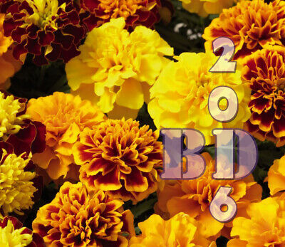 AFRICAN MARIGOLD Tagetes Patula Nana Mary Helen Appx 100 Seeds Original Pack_19 • 2.99£