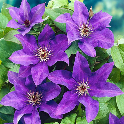 Clematis 'The President' Hardy Garden Climber Plant Flowering Shrub | 9cm Pot • 11.99£