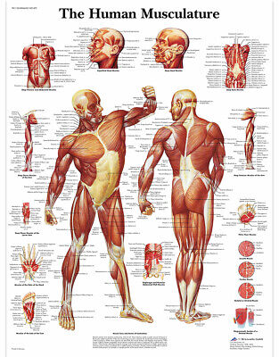 $14.99 • Buy Educational Human Muscle Musculature  Poster Prints Medical Leaning  13  X 19