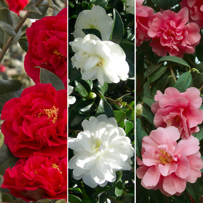 £16.99 • Buy Camellia Tricolour Collection Pack Of 3 Red White & Pink Mixed Plants 9cm Pots