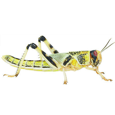 £8.97 • Buy 100 X SMALL LOCUSTS Live Reptile Food Livefood Bearded Dragon Gecko 7-12MM