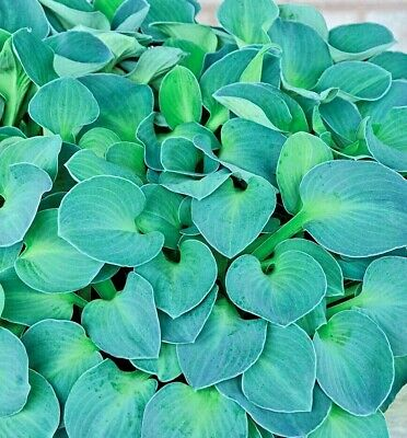 Hosta Blue Mouse Ears Plantain Lily In 9cm Pot Blue/Green Leaves Purple Flowers • 4.99£