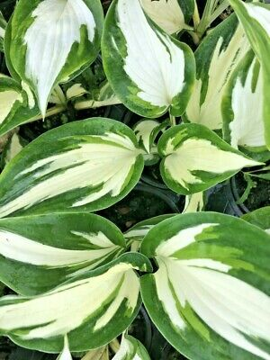 Hosta Fire + Ice Plantain Lily In 9cm Pot White Varigated Leaves • 5.99£