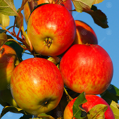 £54.99 • Buy Malus Domestica 'Red Falstaff'   Eating And Juicing Apple Tree  Fruit Tree 4-5ft