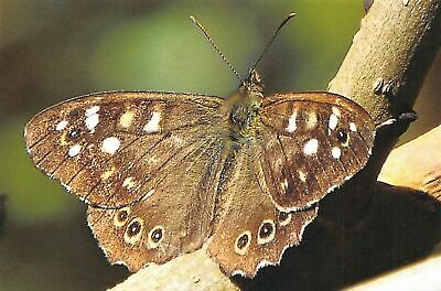 Fine Art Quality Postcard, Speckled Wood Butterfly Photo By Ian Rabjohns CK8 • 2.50£