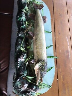 Vintage Taxidermy Fish (stuffed Pike) Mounted On Wood 97 Cm  3 Foot 2 Inches • 175£