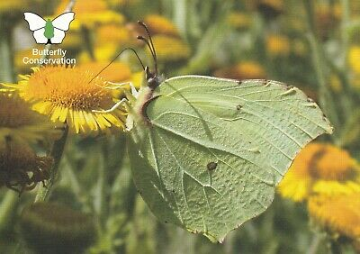 Butterfly Conservation Postcard Of Brimstone By Tom Brereton • 2.50£