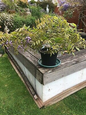 Last Chance Before Spring Beautiful Flowering Wisteria Sinensis Plant. Pot Grown • 20£
