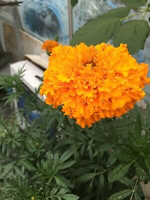 African Marigold Seeds • 3.99£