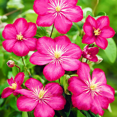 Clematis Ville De Lyon Deciduous Potted Flowering Outdoor Garden Climbing Shrub • 9.99£