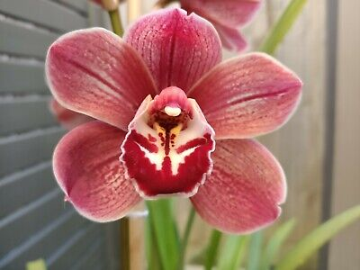 AU35 • Buy Cymbidium Khan Flame 'Tuscany' X Red Nelly 'Devil'