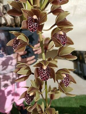 AU80 • Buy Cymbidium Pendulous - Plush Canyon 'Beenak' - 3 Spikes