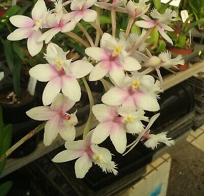 AU20 • Buy Orchid Plant 1133. Epidendrum Candy Valley #1 X  Nice  Mericlones In 50mm Pot
