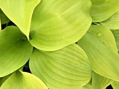Hosta Sum + Substance Plantain Lily In 9cm Pot Big Yellow Leaves  • 5.99£